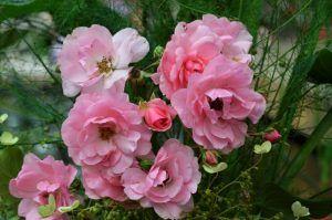 Каменные розы и денежные деревья распустились в «Аптекарском огороде». Фото: Анна  Быкова