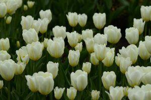 Тюльпаны распустились в «Аптекарском огороде». Фото: Анна Быкова
