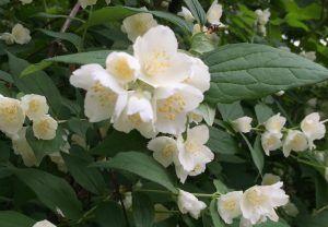 Чубушник цветет на территории «Аптекарского огорода». Фото предоставили сотрудники пресс-службы «Аптекарского сада»