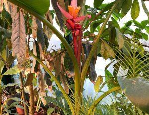 Бархатный банан распустился в Ботаническом саду «Аптекарский огород». Фото: «Аптекарский огород»