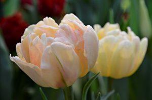 Тюльпаны расцветут в «Аптекарском огороде».Фото:Анна Быкова